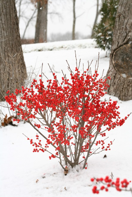 winterberryhollysnow